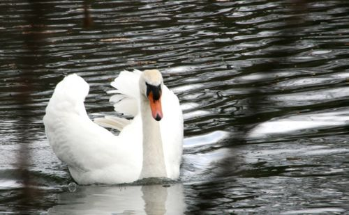 Swan @ kensington gardens 032309 LR