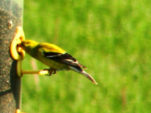 Goldfinch03 052409 LR