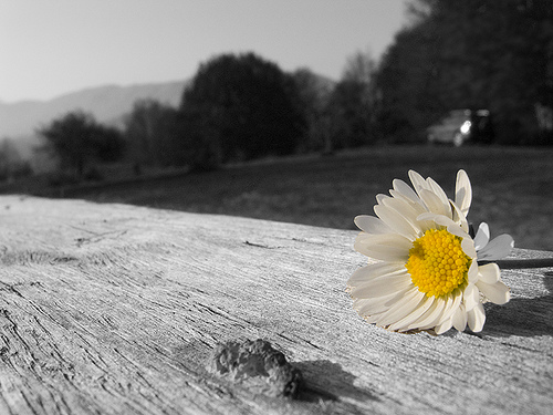 The blessing of daisies.